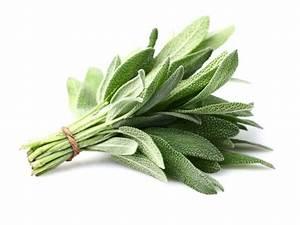La Sauge Plante : sauge l 39 herbe sacr e salvia officinalis ~ Melissatoandfro.com Idées de Décoration