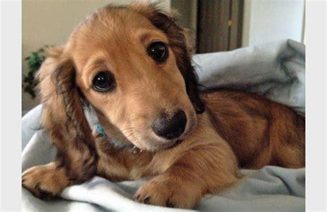 dachshund puppy   cute puppy overload