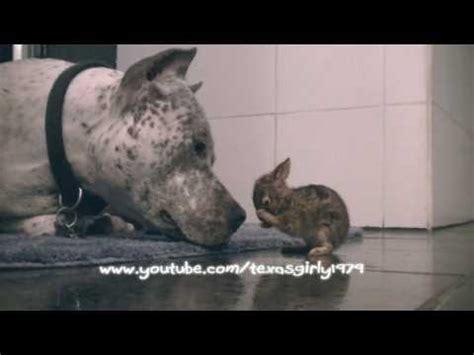 un chat fait le mort pour tromper un chien