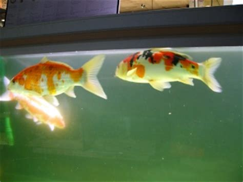 carpe koi en aquarium carpe koi cyprinus carpio carpio bassin uniquement