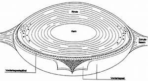 Aufbau Der Zwiebel : aufbau der augenlinse ~ Lizthompson.info Haus und Dekorationen