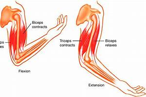 Biceps And Triceps Muscles