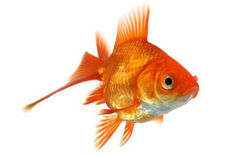 pesciolino rosso testo storia di un pesce rosso una storia di prospettive