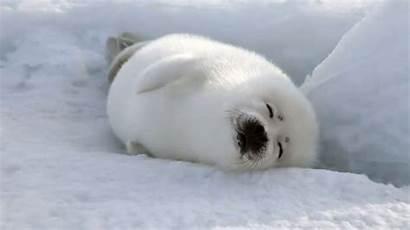 Seal Harp Furry Animals Sea Animal Seals