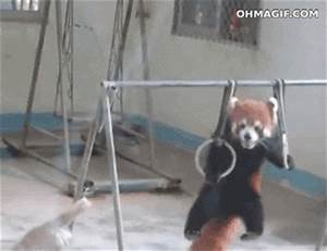 Pull Up Red Panda GIF - Find & Share on GIPHY