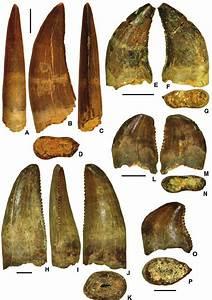 Theropod teeth from Krasnyi Yar (A–G) and Mogoito (H–P ...