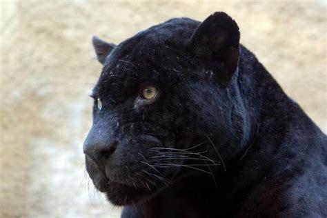 schwarzer als dünger schwarzer panther artist artist als kunstdruck oder