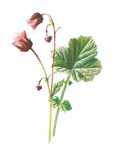 Flower Wildflower Illustration Botanical Clip Digital Antique