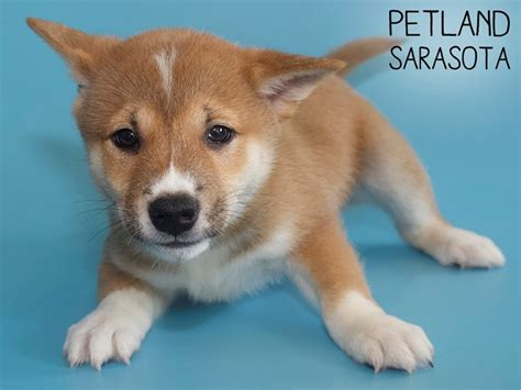 Check out our red shiba inu selection for the very best in unique or custom, handmade pieces from our shops. Shiba Inu-DOG-Male-RED-2846705-Petland Sarasota