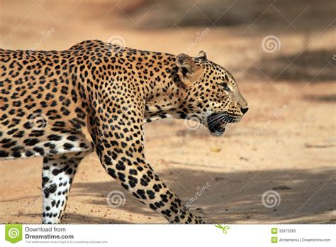 profile view   walking leopard stock  image
