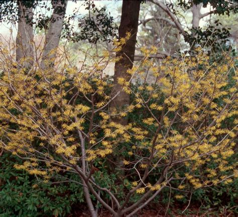 witch hazel tree images online plant guide hamamelis virginiana witch hazel