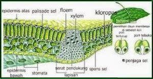perbedaan struktur daun dikotil monokotil tatangsmacom