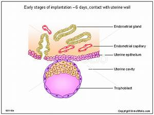 Early Stages Of Implantation