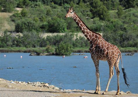 girafe cuisine giraffe réserve africaine de sigean