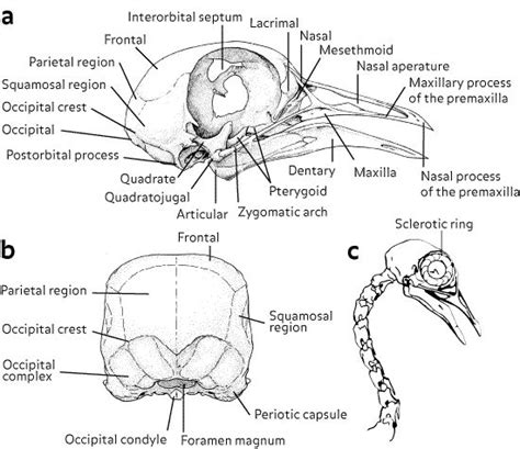 1000 images about bird skeletons on pinterest bird