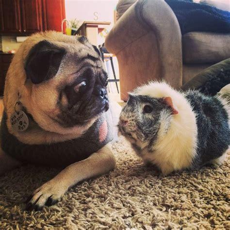 Pug Meet Pig Cutetropolis