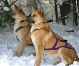 Good Non Shedding Small Dogs by Chinook Big Dog Breeds Dog Breeds Picture
