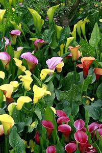 arum planter et entretenir ooreka With photos terrasses et jardins 6 pensee planter et entretenir ooreka