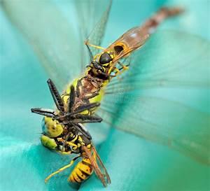 Was Essen Wespen : wespen die eine libelle ii essen stockfoto bild von kiefer nave 26222528 ~ Frokenaadalensverden.com Haus und Dekorationen