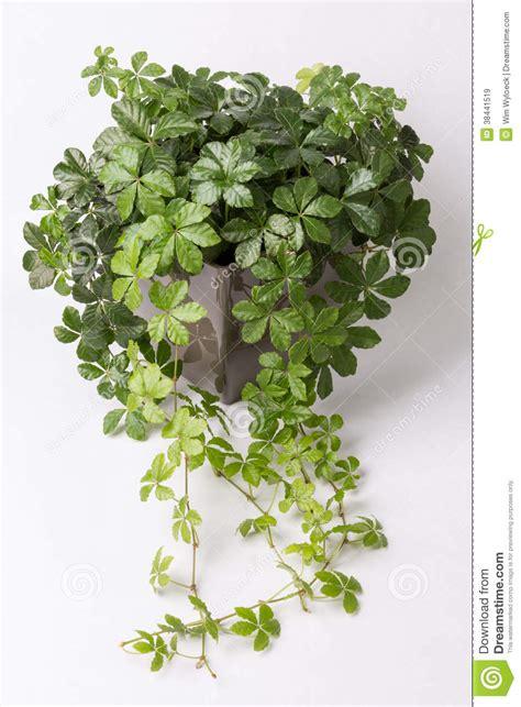 fleurs grimpantes en pot