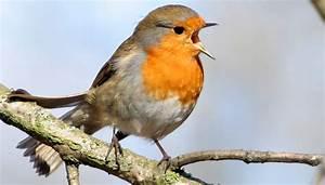 Singvögel Im Garten : bestimmen sie deutschlands singv gel mit vogelstimmen grusskarten news ~ Whattoseeinmadrid.com Haus und Dekorationen