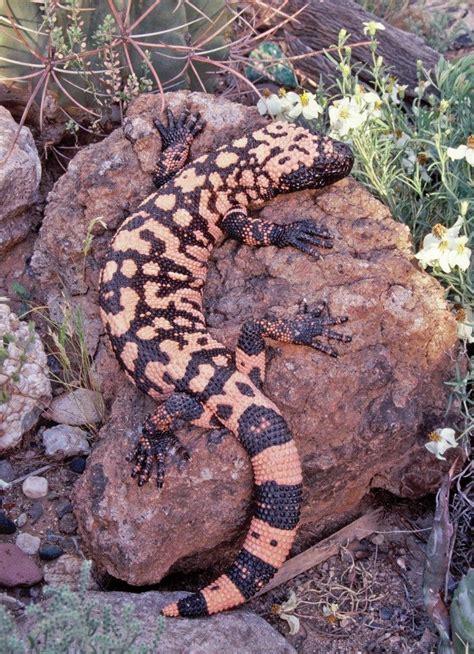 Gila Monster - Tucson Herpetological Society