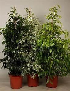 Ficus Benjamini Vermehren : ficus benjamini mix netplant we export plants to the uk ~ Lizthompson.info Haus und Dekorationen
