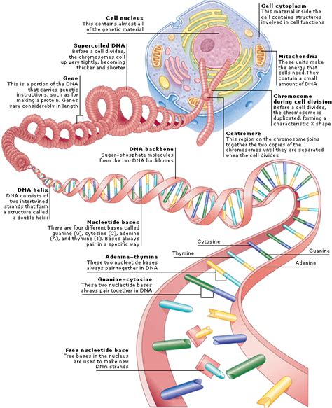 encyclopedia structure structure of genetic