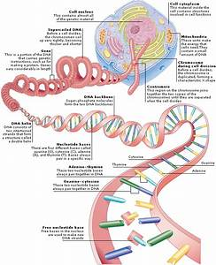 Medical Encyclopedia - Structure  Structure Of Genetic Material