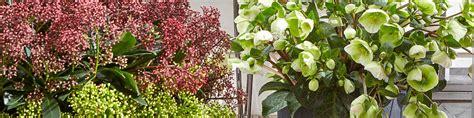 Kübelpflanzen Winterhart Immergrün by Winterharte K 252 Belpflanzen Bestellen Dehner