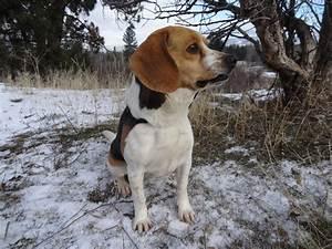 Tiny Beagles Sire Pictures - Tiny Beagles Miniature Pocket ...