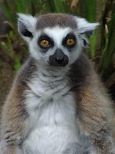 Lemur - Pictures  Photos  U0026 Images Of Animals