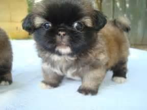 pekingese chiwawa dog breeds picture
