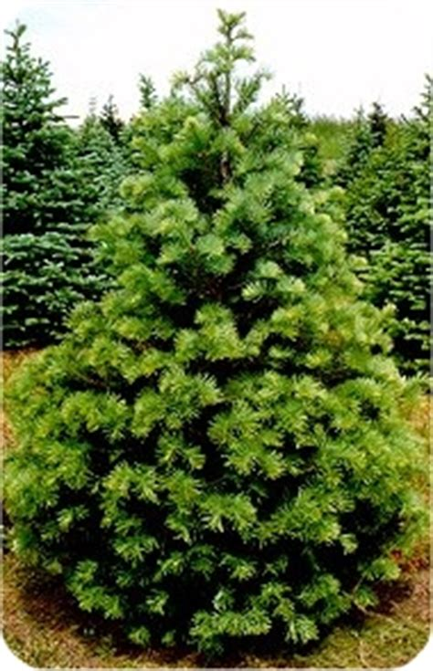 concolor smell like oranges christmas trees concolor fir white fir
