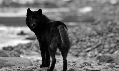 Black Wallpaper Of Wolf by Black Wolf Wallpapers Images Photos Pictures Pics