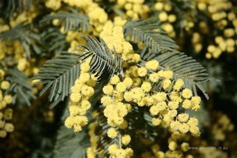 hawaii invasive species council black wattle acacia
