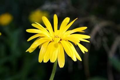 Yellow Flower Petals Thin Resolution Domain Skinny