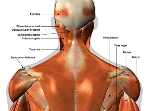 The scapula (shoulder blade) is elevated by the trapezius muscle, which runs from the back of the neck to the middle of the back, by the rhomboid major and rhomboid minor muscles in the upper back, and by the levator scapulae muscle, which runs along the side and back of the neck. Labeled Anatomy Chart Of Neck And Back Muscles On White Background Stock Photo - Download Image ...