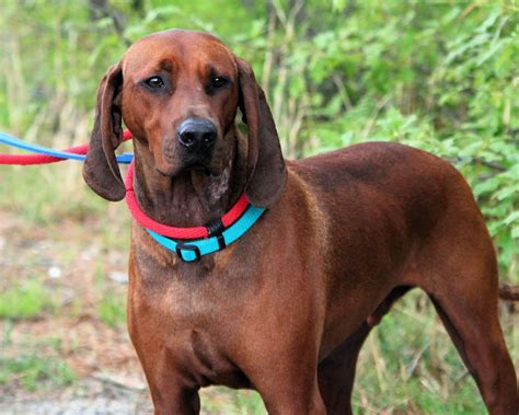 coonhound shedding top 10 non shedding breeds