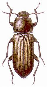 Kleine Braune Käfer Im Haus : gro e schwarz braune k fer im haus wer weiss ~ Lizthompson.info Haus und Dekorationen