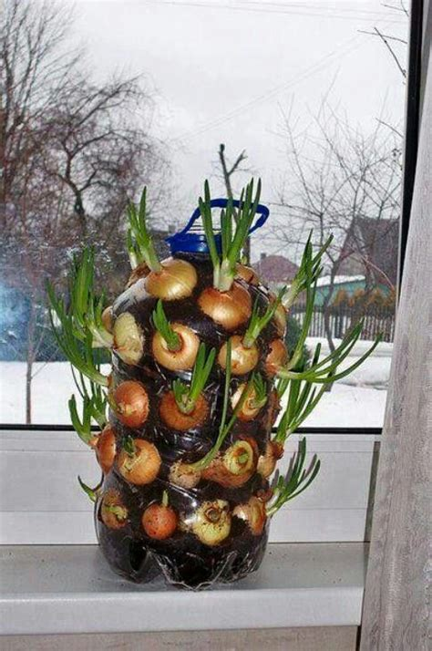 onions growing vertically grow garden plants