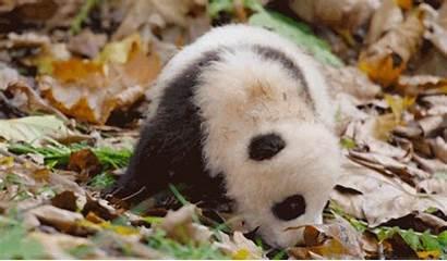 Panda Giant Cutest Rolling Meet Born China