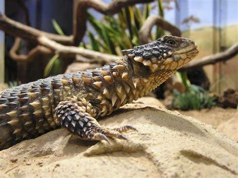 smaug giganteus giant girdled lizard