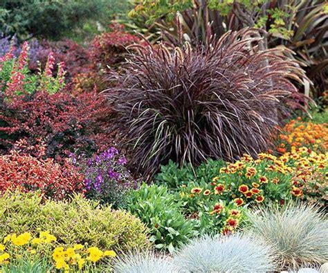 perennial purple grass 17 top ornamental grasses pennisetum setaceum