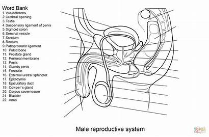 Reproductive Male System Worksheet Coloring Pages Anatomy