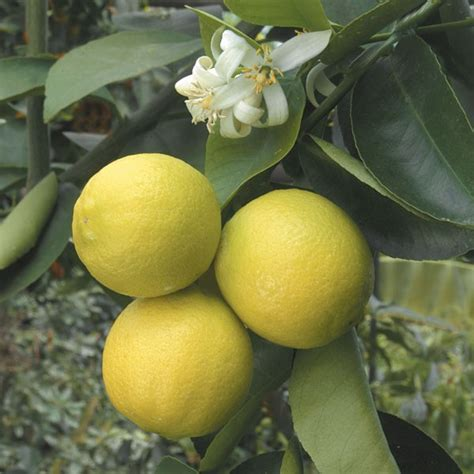 palestine sweet lime citrus aurantifolia hybrid