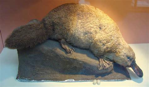 el ornitorrinco  mamifero  pico de ave biologia