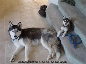 Alaskan Klee Kai images alaskan klee kai wallpaper and ...