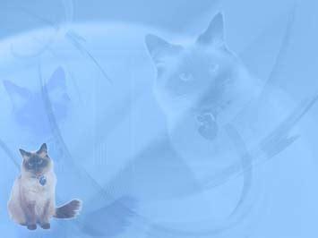 cat himalayan  powerpoint template