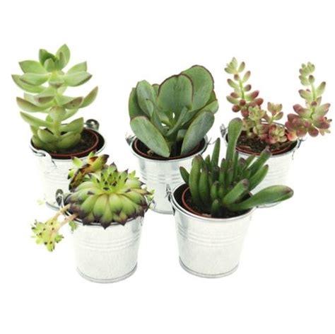 mini plante grasse mini plante grasse seau zinc diy mariage